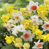 Daffodi Mixed Bulbs